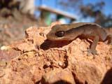 Clawless Gecko