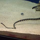 Black-headed sea snake