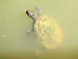 Krefft's River Turtle