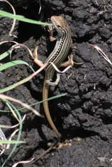Robust striped skink