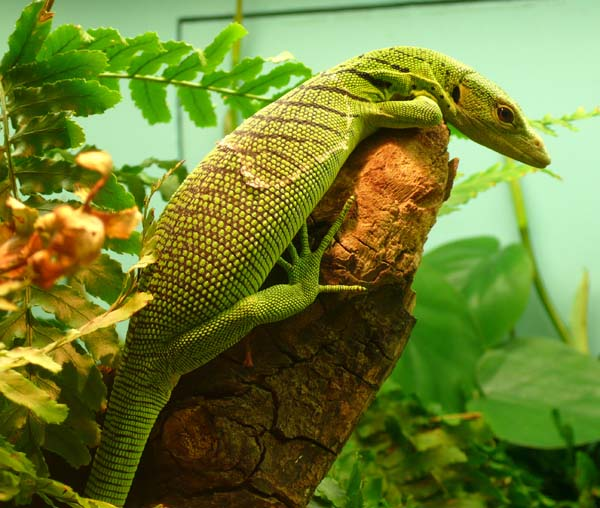 Emerald Tree Monitor | Varanus prasinus photo