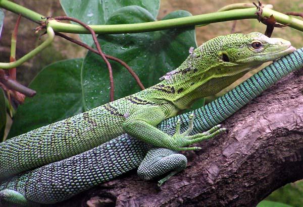 Emerald Tree Monitor | Varanus prasinus photo