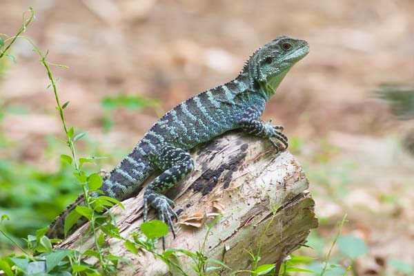 Gippsland Water Dragon   Physignathus lesueurii howittii photo