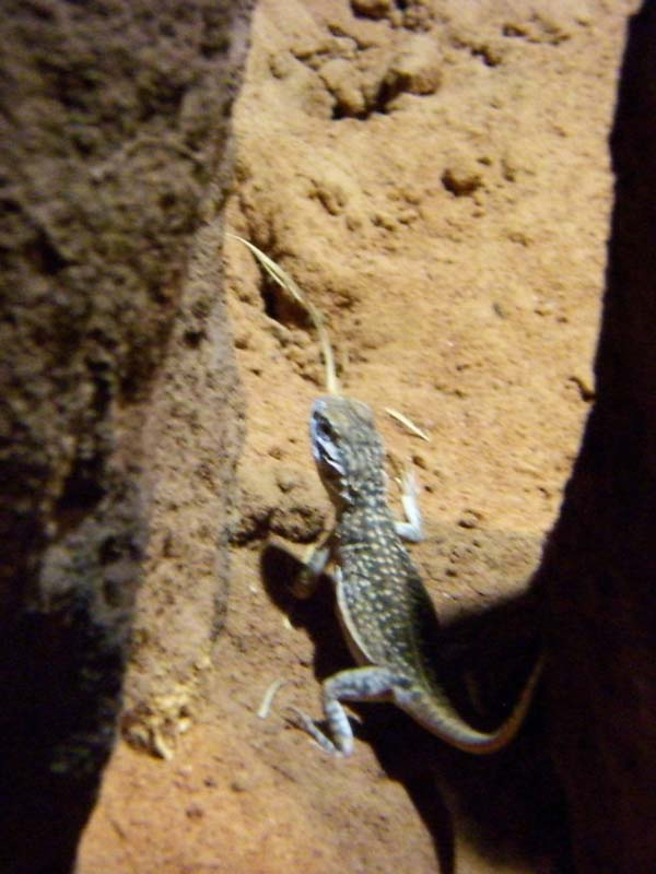 Central Netted Dragon | Ctenophorus nuchalis photo