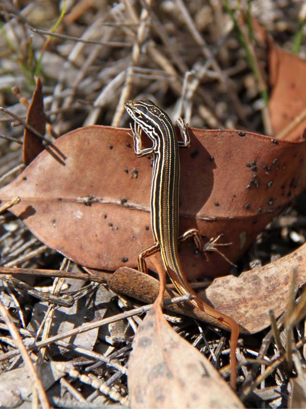 Striped Skink | Ctenotus taeniolatus photo