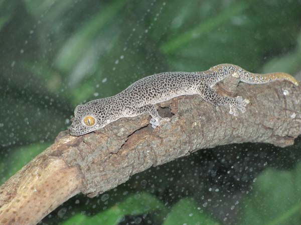 Golden-tailed Gecko | Diplodactylus taenicauda photo