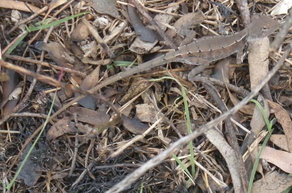 Tommy Roundhead Dragon | Diporiphora australis photo
