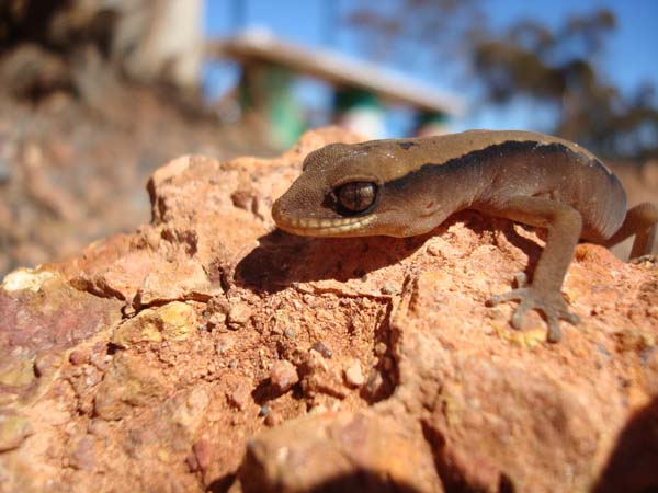 Clawless Gecko | Crenadactylus ocellatus photo