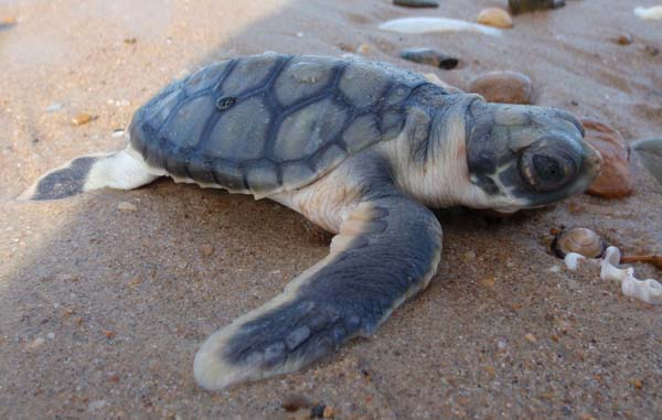 Flatback Turtle | Natator depressus photo
