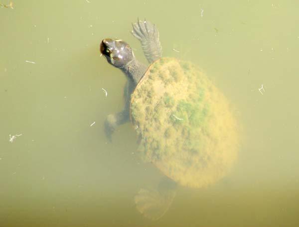 Krefft's River Turtle | Emydura krefftii photo