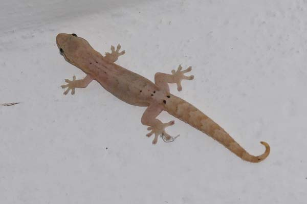 Mourning Gecko | Lepidodactylus lugubris photo