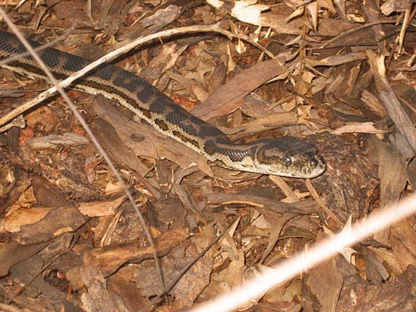 Southwestern Carpet Python | Morelia spilota imbricata photo