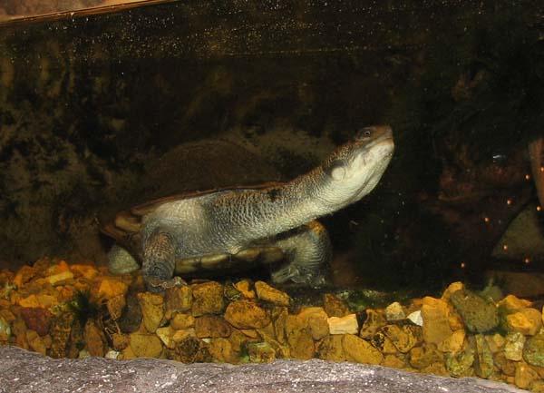 New Guinea Snake-necked Turtle | Chelodina novaeguineae photo