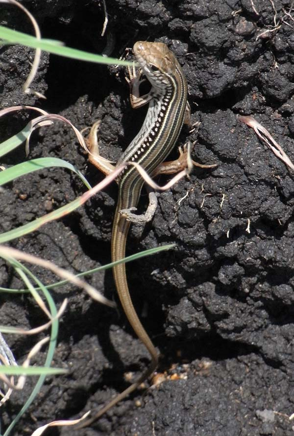 Robust striped skink | Ctenotus robustus photo
