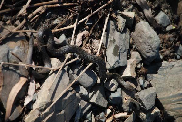 Keelback Snake | Tropidonophis mairii photo