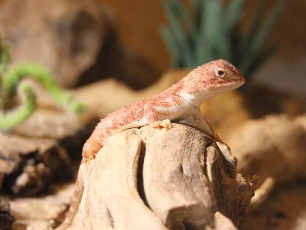 Earless Dragon | Tympanocryptis tetraporophora photo