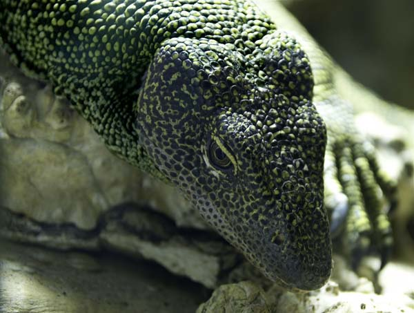 Mangrove Monitor | Varanus indicus photo