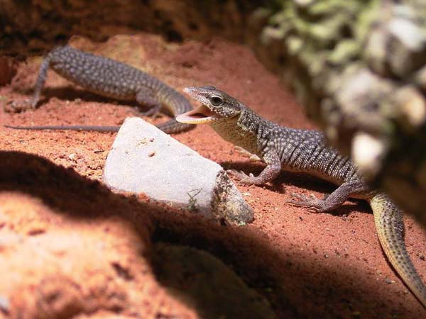 Storr's Monitor | Varanus storri photo