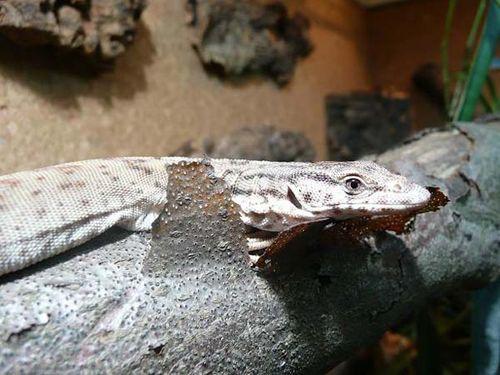 Pygmy Mulga Monitor | Varanus gilleni photo