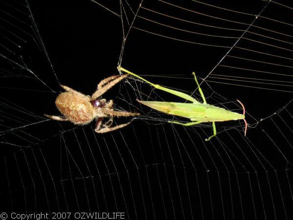 Garden Orb Weaver Spider   Eriophora sp photo