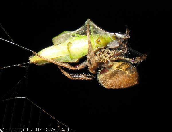 Garden Orb Weaver Spider | Eriophora sp photo