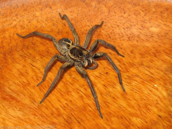 Wolf Spider | Lycosa sp photo