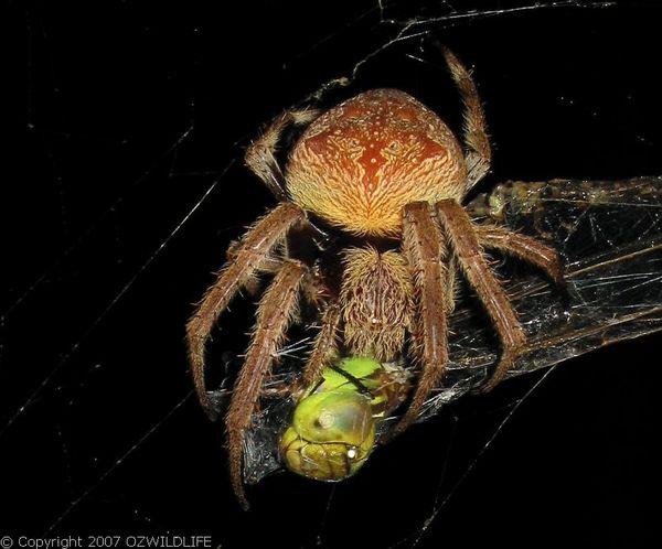 Garden Orb Weaver Spider | Eriophora transmarina photo