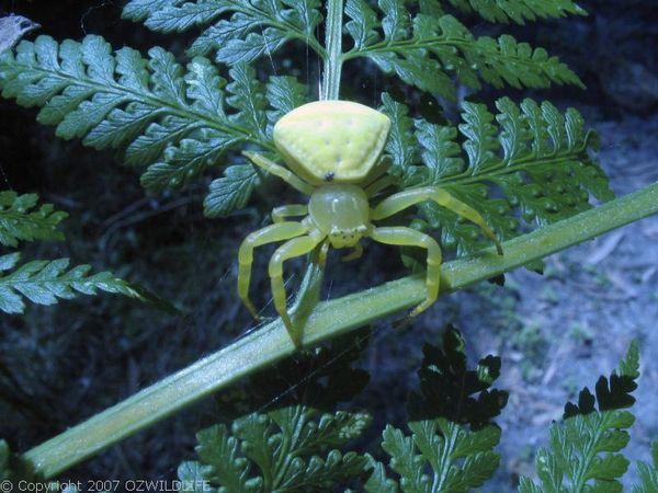 White Crab Spider | Thomisus spectabilis photo