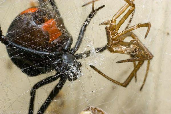 Redback Spider   Latrodectus hasselti photo