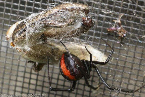 Redback Spider | Latrodectus hasselti photo