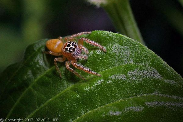 Jumping Spider | Opisthoncus polyphemus photo