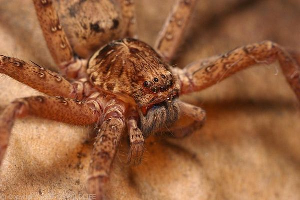 Brown Huntsman Spider | Heteropoda jugulans photo