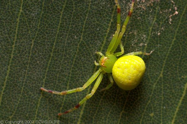 Flower Spider | Diaea sp photo