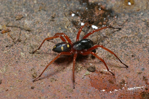Spotted Ground Spider | Storena sp photo