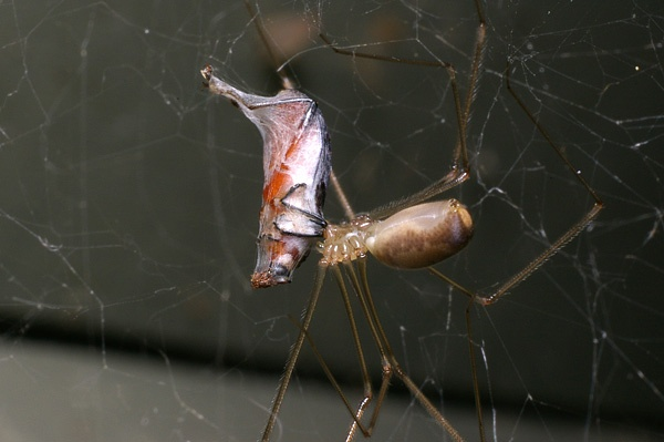 Daddy Long Legs Spider | Pholcus phalangoides photo