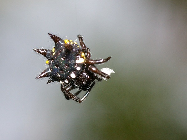 Jewelled Spider | Gasteracantha minax photo