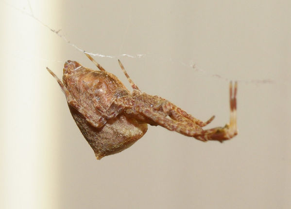 no common name | Uloborus barbipes photo
