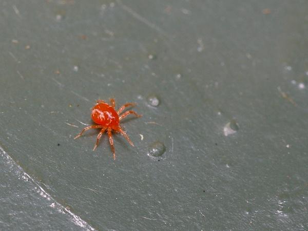 Spider Mite | Tetranychidae family  photo