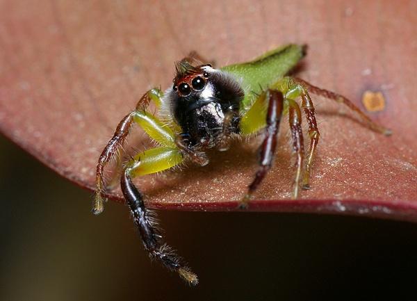 Green jumping spider   Mopsus mormon photo