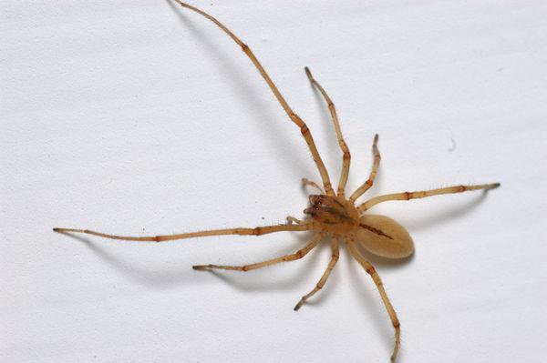 Sac Spider | Cheiracanthium gilvum photo