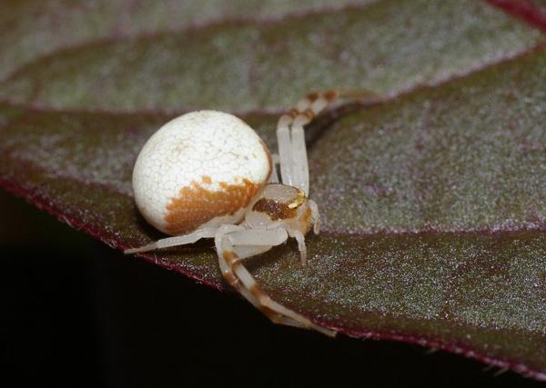 Flower Spider | Zygometis lactea photo