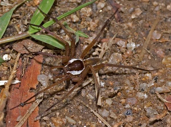 Water Spider | Dolomedes sp photo