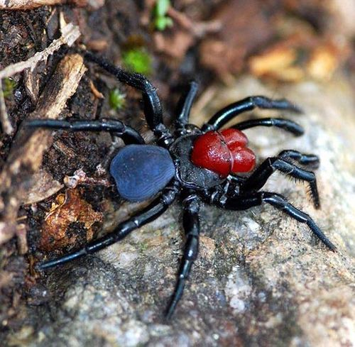 Red-headed Mouse Spider | Missulena occatoria photo