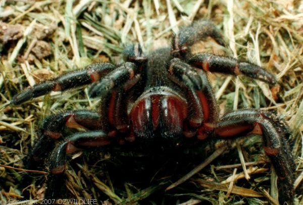 Golden Trapdoor Spider | Arbanitis sp photo