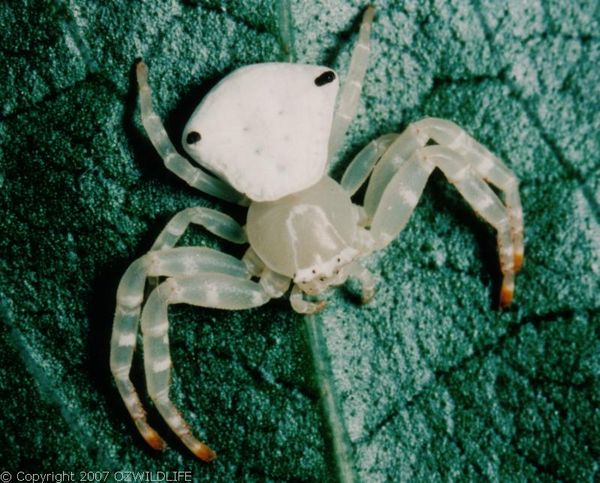 White Crab Spider | Thomisus spectabilis photo