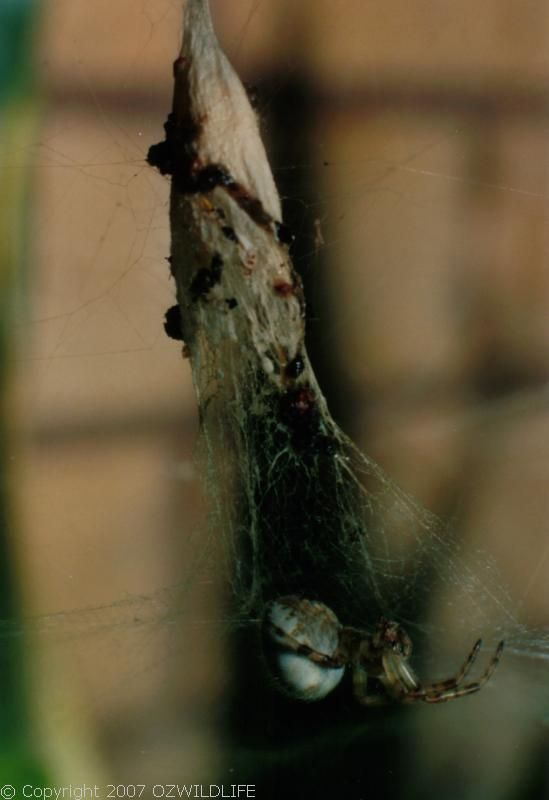 Tent Web Spider | Cyrtophora hirta photo