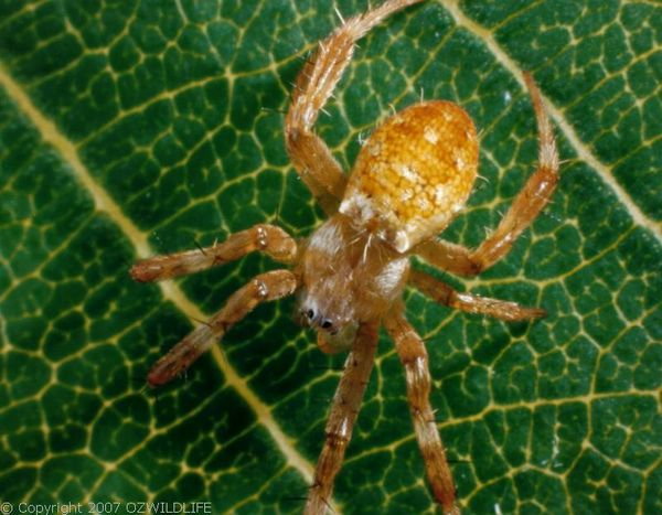 St. Andrews Cross Spider   Argiope keyserlingi photo