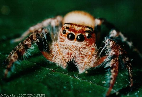 Jumping Spider | Opisthoncus sp photo