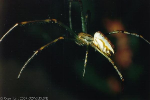 Silver Orb Weaver Spider | Leucauge sp photo