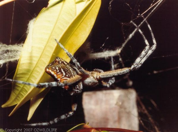 Dome Web Spider | Cyrtophora moluccensis photo